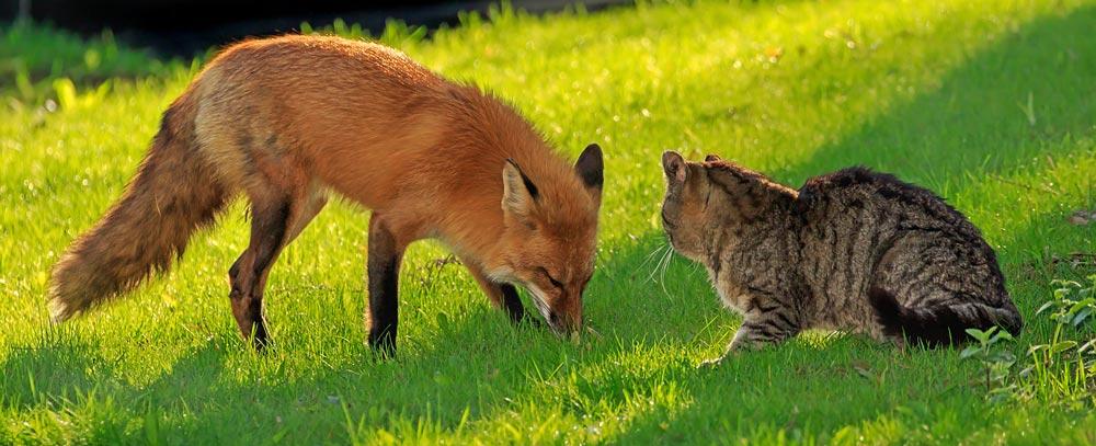 Renard roux et chat en face à face 2