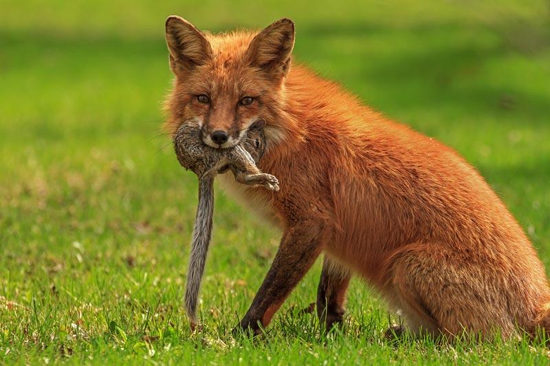Renard roux ayant capturé un écureuil gris