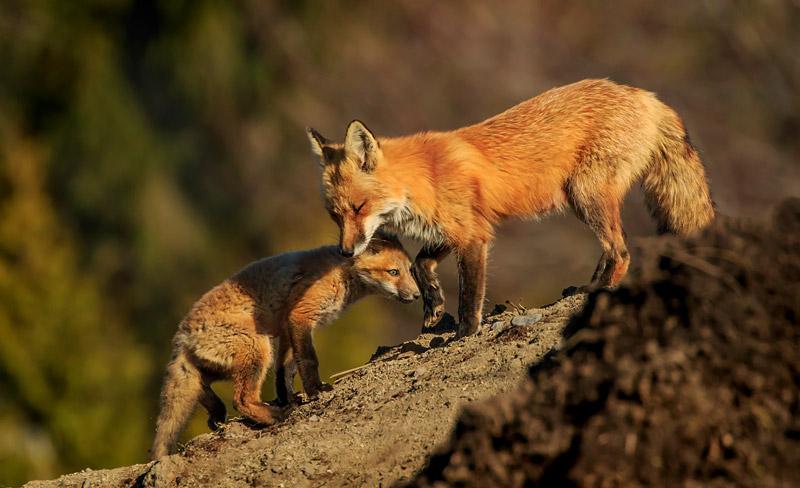 Renard femelle protégeant son jeune