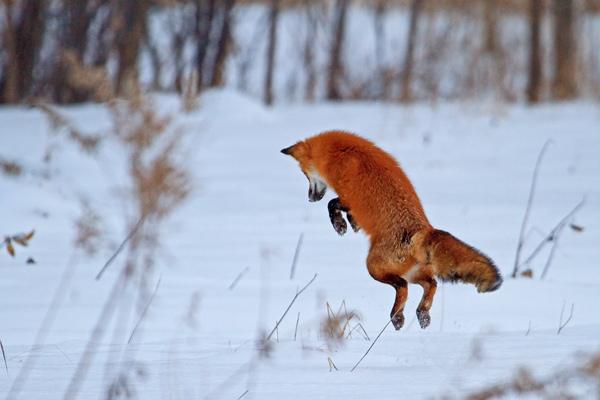 Renard roux bondissant dans la neige