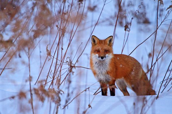 Renard roux en hiver à la brunante