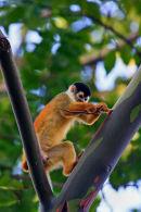 Singe-écureuil sur un eucalyptus
