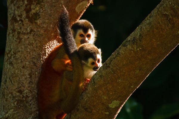 Singes-écureuil adulte et juvénile 1