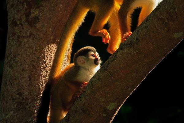 Singes-écureuil adulte et juvénile 2