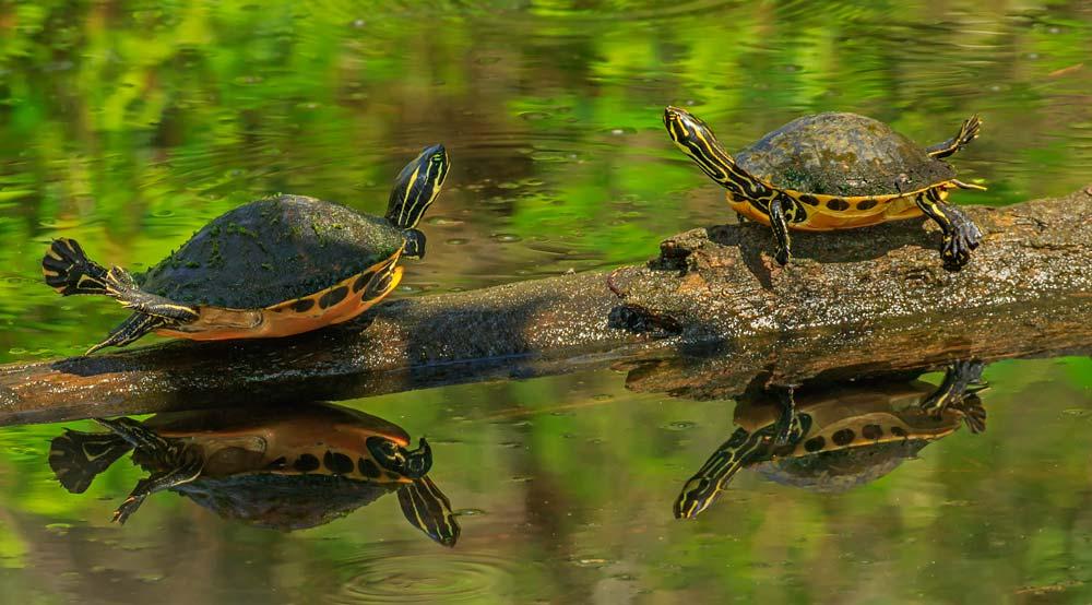 Deux tortues dans un marais
