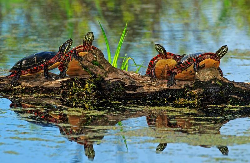 Rassemblement de tortues peintes sur un îlot