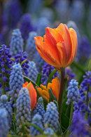 Tulipe orange et fleurs bleues