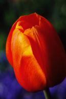 Tulipe orange sur fond bleu