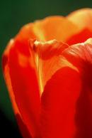 Tulipe orange sur fond vert