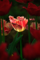 Tulipe rouge à frange dentelée à contrejour