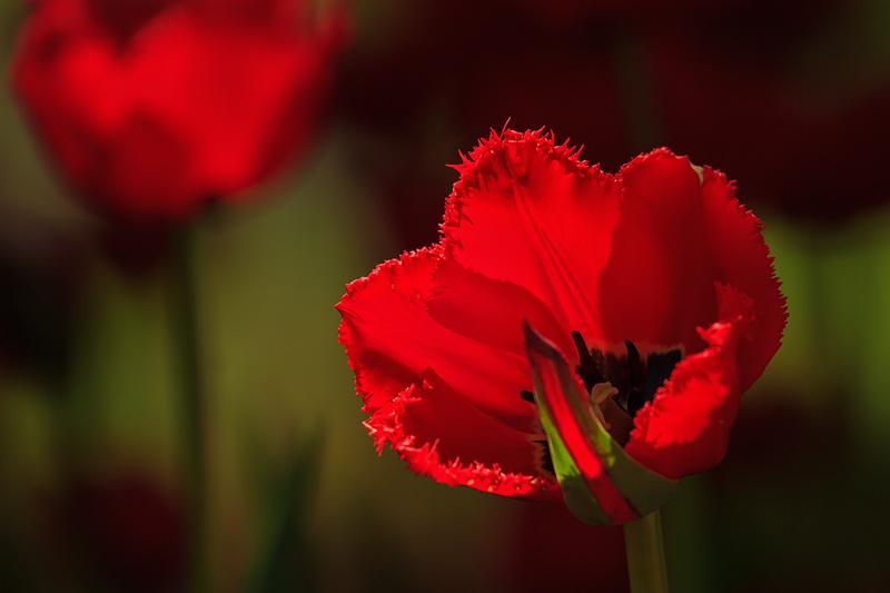 Tulipe rouge à frange dentelée à contrejour 2