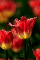 Tulipe rouge et jaune à frange dentelée à contrejour - verticale