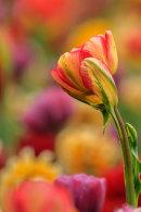 Tulipe jaune et rouge sur fonds multicolore