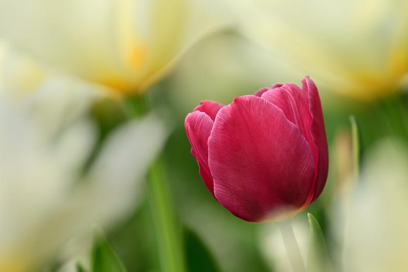Tulipe mauve avec fleurs blanches
