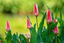 Tulipes roses et blanche au matin