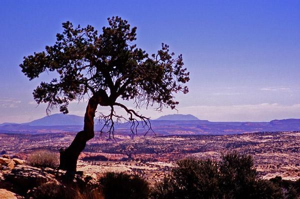 Pin solitaire entre Boulder et Escalante - Utah