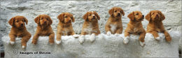 Toller pups 2