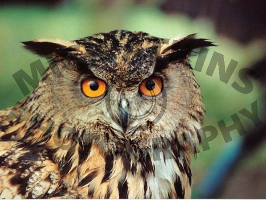Eagle Eyed Owl