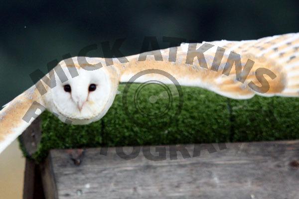 Barn Owl - In Flight