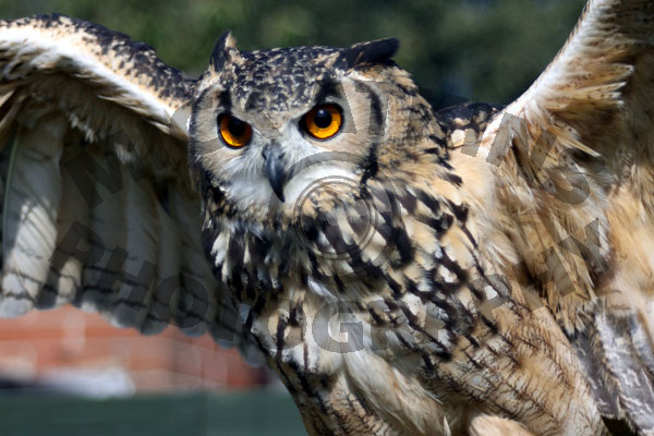 Bengal Eagle Owl (female)