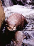 Otter Stare