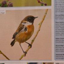 Stonechat.. Bird Watching Magazine. May 2015