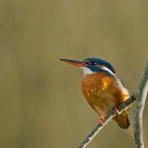 Kingfisher13