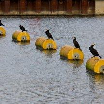 Cormorants,, River Thames
