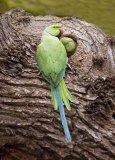 Ringneck Parakeets.