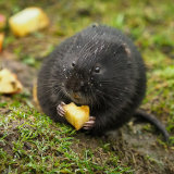 Water Vole (1 of 1)