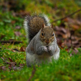 Grey Squirrel (1 of 1)