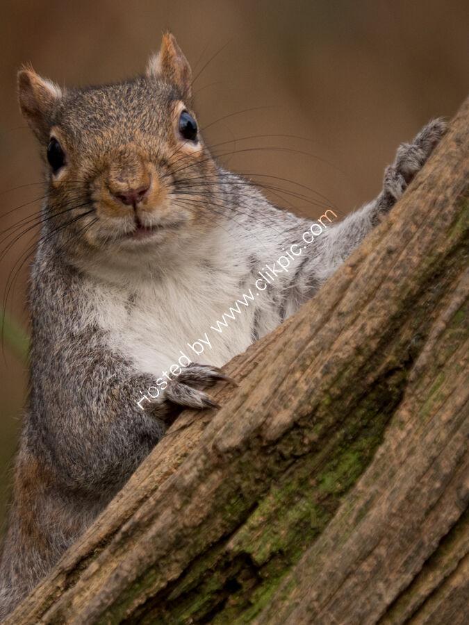 Grey Squirrel (1 of 1)