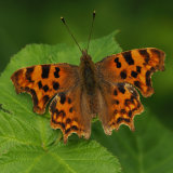 Comma ( Polygonia c-album)
