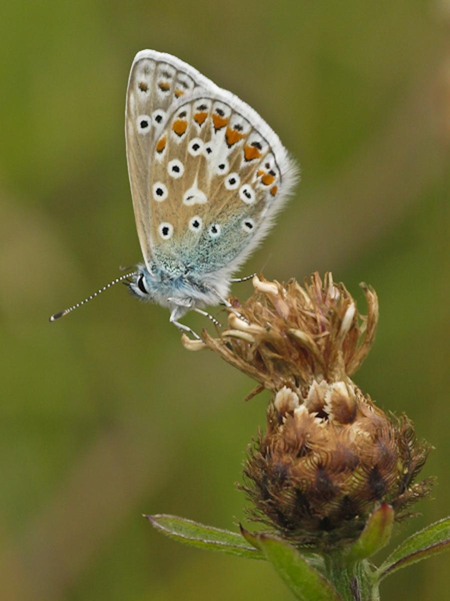 Common Blue (Polyommatus icarus2