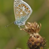 Common Blue (Polyommatus icarus2