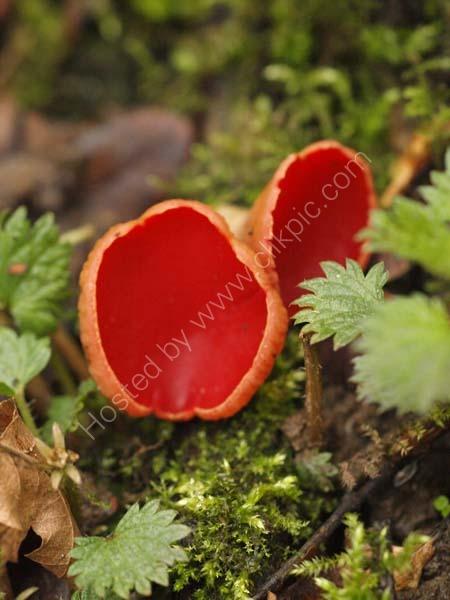 Scarlet Elfcup  (Sarcoscypha austriaca)