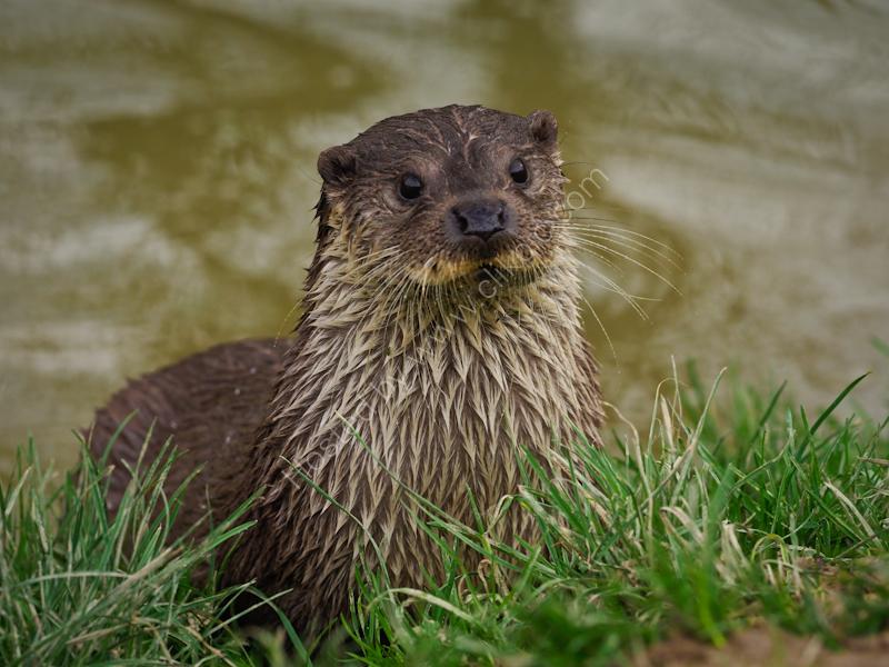 Eurasion Otter