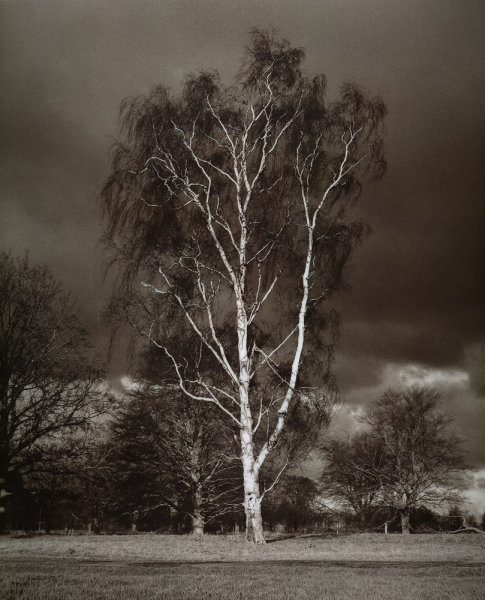 Silver Birch<br>Culford<br>Suffolk