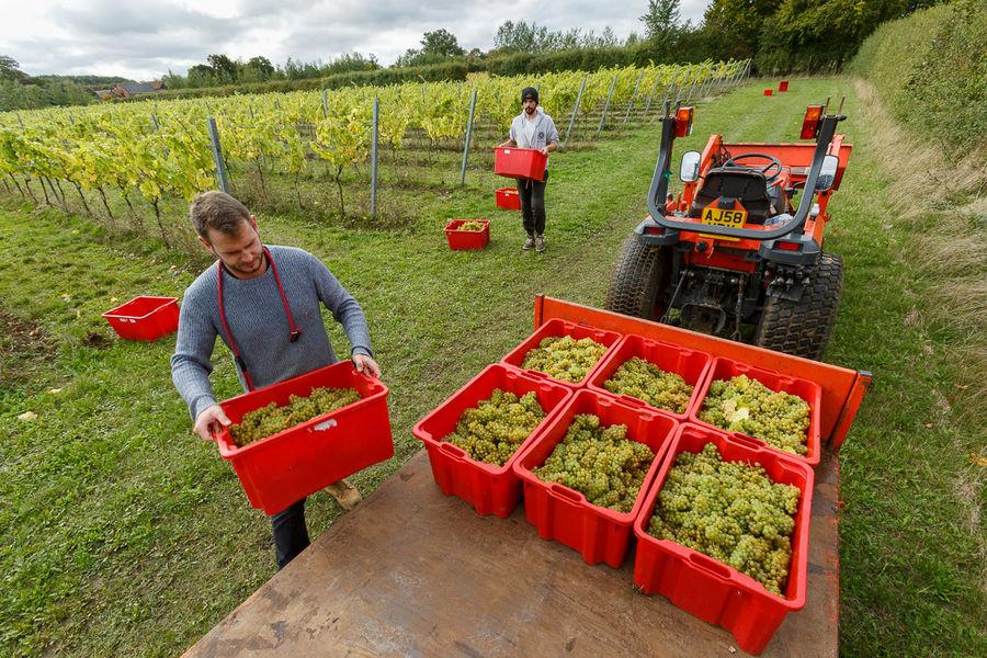 Grape Picking<br>Saffron Grange Vineyard<br>Essex
