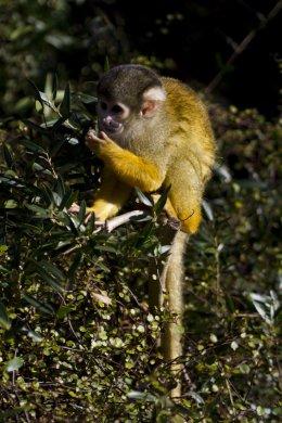 Bolivian Black Capped Squirrel Monkey 01