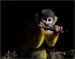 Bolivian Black Capped Squirrel Monkey 02