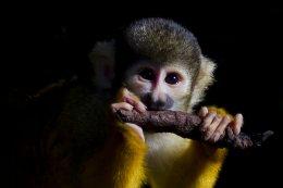 Bolivian Black Capped Squirrel Monkey 02a