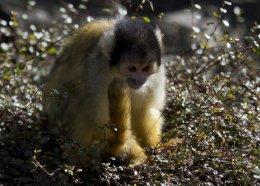 Bolivian Black Capped Squirrel Monkey 03