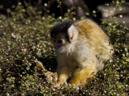 Bolivian Black Capped Squirrel Monkey 04