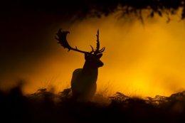 Fallow Deer in Morning Mist
