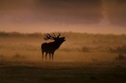 Red Deer in Morning Mist