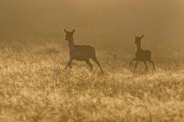 Fallow Deer Running in the Mist