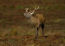 Red Stag Bellow