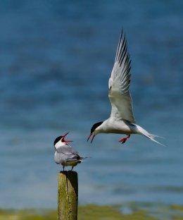 Common Terns 2