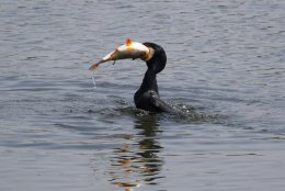 Cormorant and Roach 2
